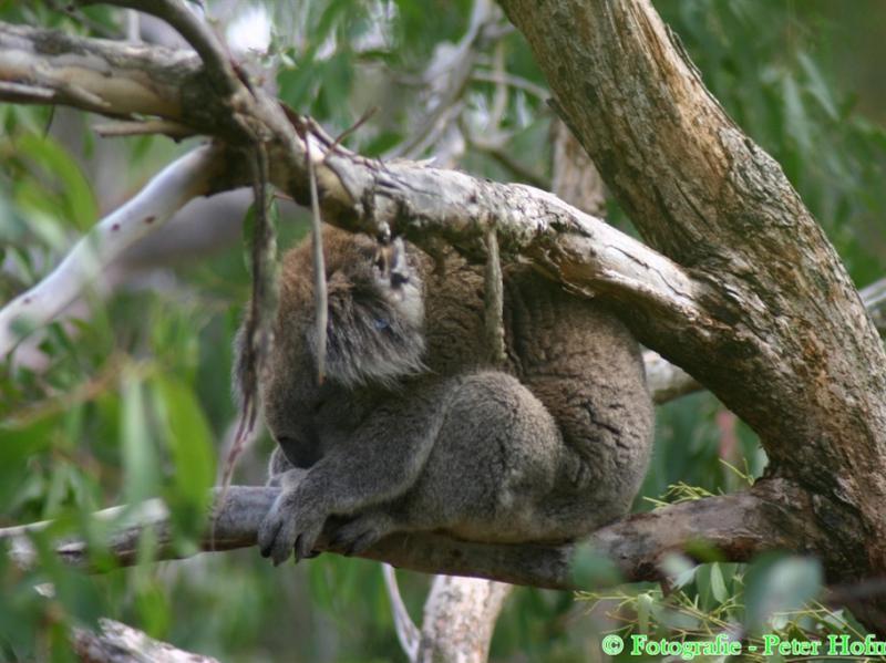 Koala - Phillip Island - Victoria